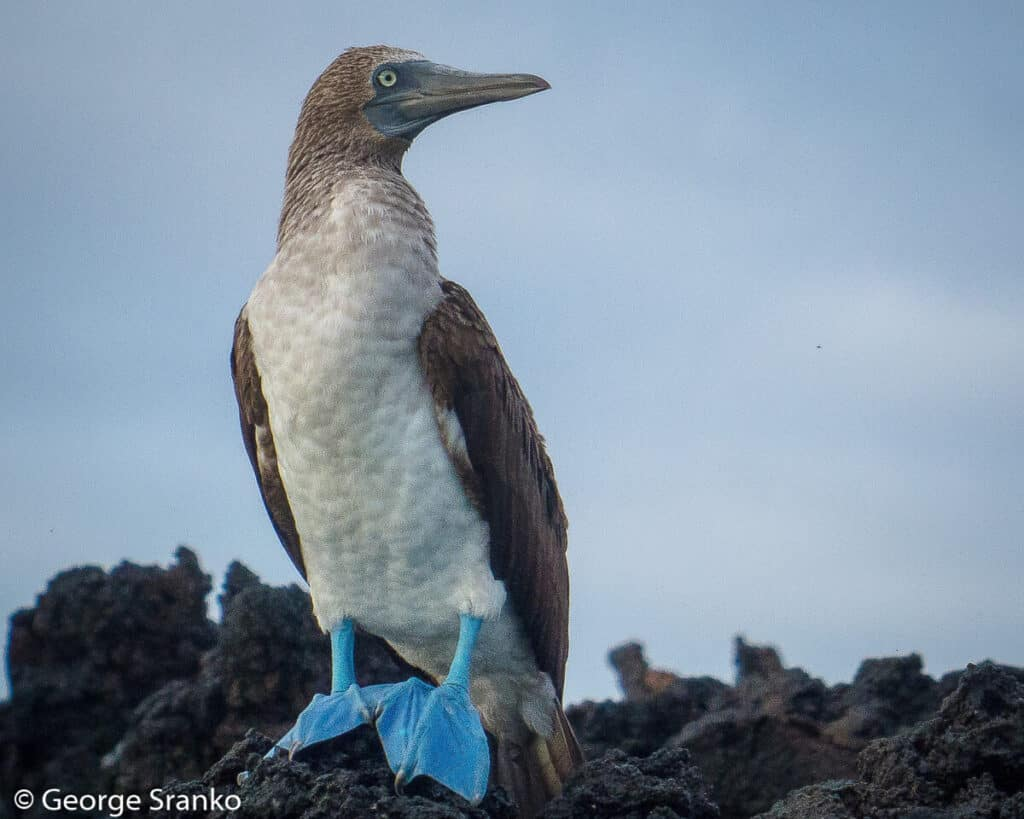 Photo of blue-footed booby