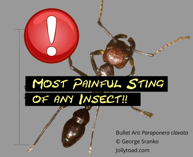 Bullet ant has the most painful sting of any insect!