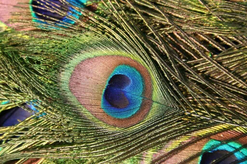 Photo of peacock feathers