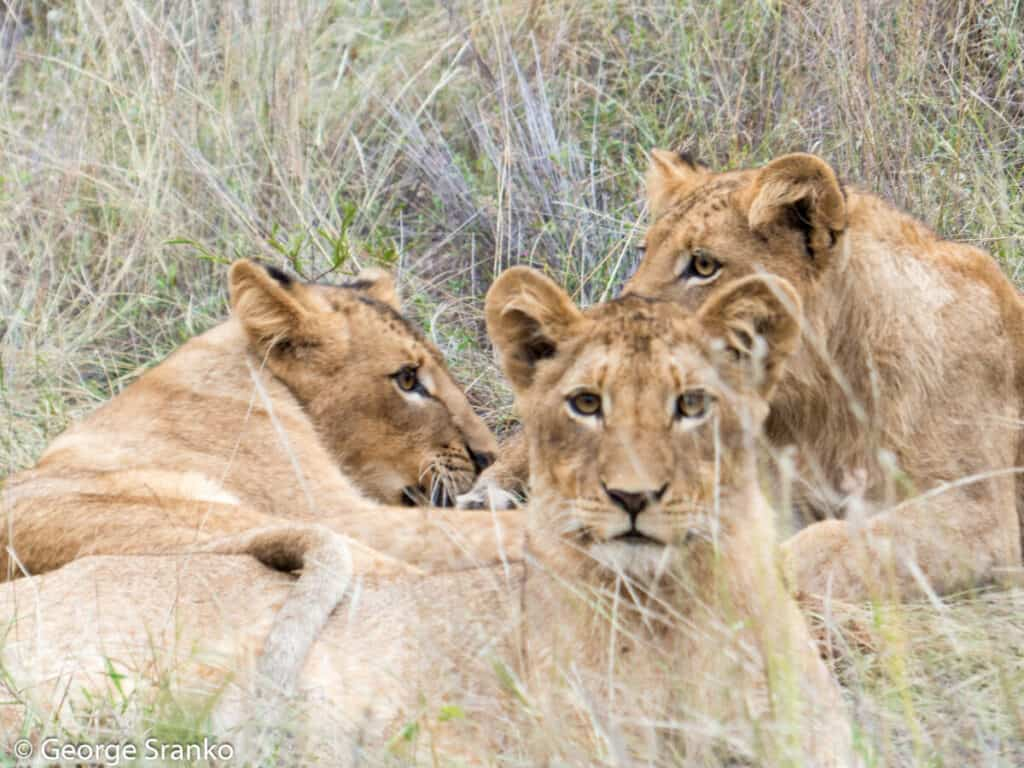Young lions near our safari jeep.