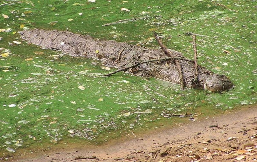 Photo of Mugger crocodile with branches resting on snout