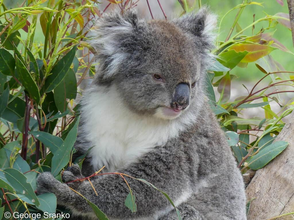 Koala have small brains to save energy