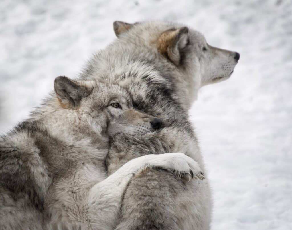 Photo of wolves hugging