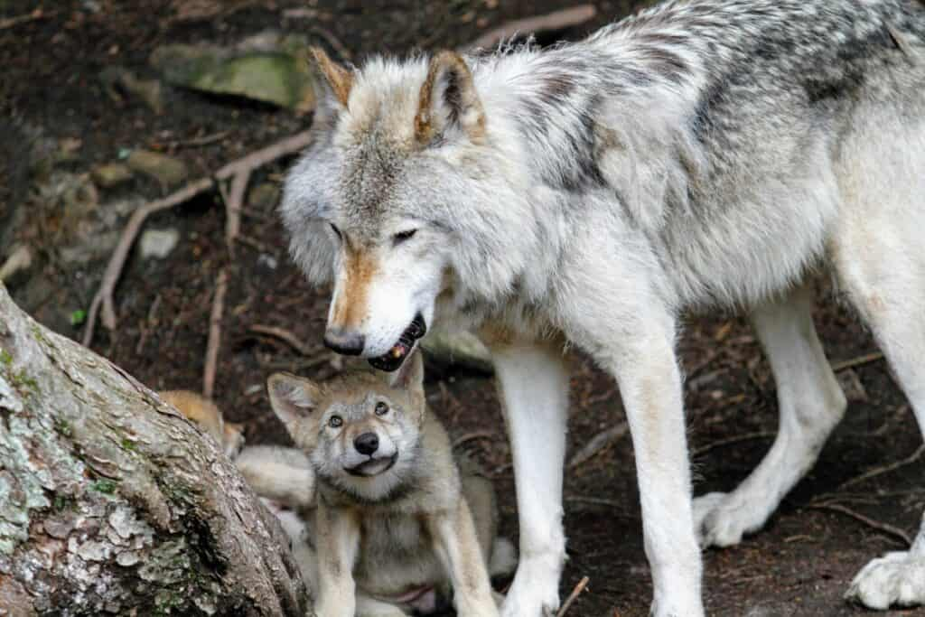 Photo of wolf pup and mother