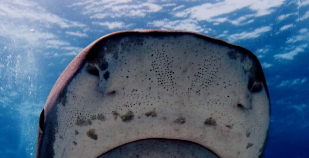 Photo of Leopard Shark with Lorenzini pores on snout