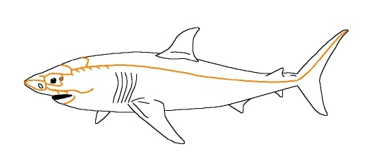 Diagram showing lateral line system of a shark