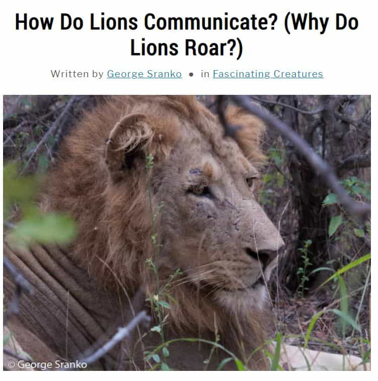 Image of article about lion communication