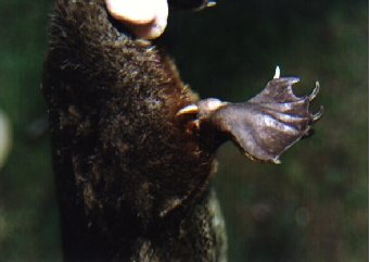 photo of male platypus spur